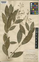Type of Palicourea calothyrsus K.Schum.&K.Krause [family RUBIACEAE]