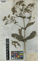 Type of Desmanthodium perfoliatum Benth. [family COMPOSITAE]
