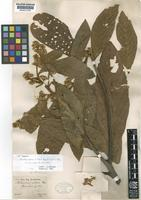 Isotype of Nectandra villosa Nees & Mart. ex Nees [family LAURACEAE]