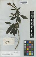 Isotype of Fuchsia canescens Benth. [family ONAGRACEAE]