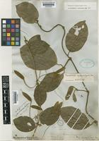 Type of Mendoncia squamuligera Nees [family ACANTHACEAE]