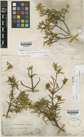 Type of Jacquinia brunnescens Urb. [family THEOPHRASTACEAE]