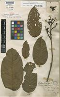 Lectotype of Eschweilera laevifolia Miers [family LECYTHIDACEAE]