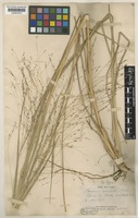 Syntype of Panicum decompositum R.Br. [family POACEAE]