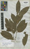 Isotype of Platea laxiflora Miers [family ICACINACEAE]