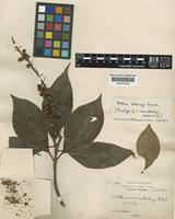 Paratype of Clethra monostachya Rehder & E.H.Wilson [family CLETHRACEAE]