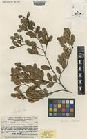 Isotype of Nothofagus decipiens Steenis [family NOTHOFAGACEAE]