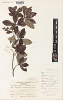 Isotype of Psychotria kuruvolii A.C.Sm. [family RUBIACEAE]