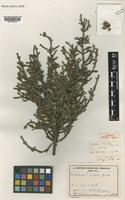 Isotype of Melaleuca lecanantha Barlow [family MYRTACEAE]