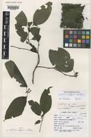 Isotype of Justicia rodgersii Vollesen [family ACANTHACEAE]