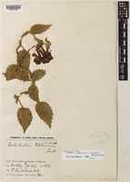 Isolectotype of Agalmyla valetoniana (Lauterb.) Hilliard & B.L.Burtt [family GESNERIACEAE]