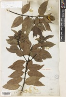 Isotype of Melodinus cumingii A.DC. [family APOCYNACEAE]