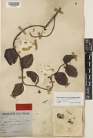 Holotype of Dendrotrophe varians (Blume) Miq. var. multinervis Stauffer [family SANTALACEAE]