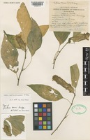 Type of Justicia kerrii J.B.Imlay [family ACANTHACEAE]