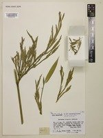 Type of Indosasa hispida McClure [family POACEAE]