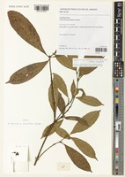 Isotype of Lacunaria pauciflora Ducke [family OCHNACEAE]
