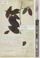 Lectotype of Bridelia griffithii Hook.f. [family PHYLLANTHACEAE]