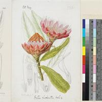 Protea rhodantha Hook.f. original illustration from Curtis's Botanical Magazine