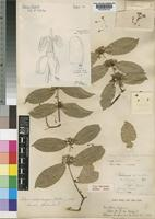 Type of Salacia dalzielii Hutch. & M.B.Moss [family CELASTRACEAE]