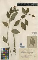 Type of Brunfelsia nyctaginoides STANDL. [family SOLANACEAE]