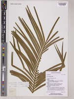 Holotype of Cycas falcata K.D.Hill [family CYCADACEAE]