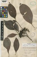 Isotype of Psychotria limonensis K.Krause [family RUBIACEAE]
