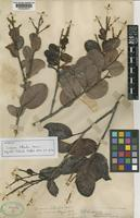 Isotype of Licania littoralis Warm. [family CHRYSOBALANACEAE]