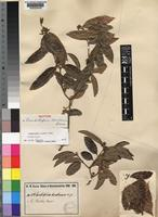 Isotype of Landolphia dondeensis Busse [family APOCYNACEAE]