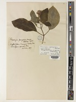 Lectotype of Sinningia youngiana Warnock [family GESNERIACEAE]