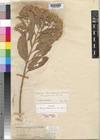 Holotype of Vernonia thomsoniana Oliv. & Hiern ex Oliv. [family COMPOSITAE]
