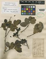 Isotype of Eugenia bahamensis Kiaersk. [family MYRTACEAE]