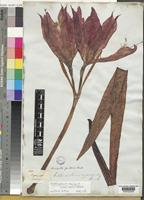 Type of Hippeastrum organense Hook [family AMARYLLIDACEAE]
