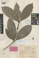Holotype of Neolitsea siamensis Kosterm. [family LAURACEAE]