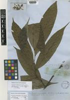 Holotype of Unonopsis angustifolia (Benth.) R.E.Fr. [family ANNONACEAE]