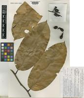Isotype of Ouratea macrocarpa Sastre [family OCHNACEAE]