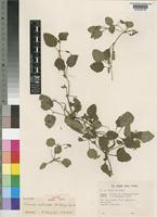 Isotype of Torenia silvicola A.Raynal [family SCROPHULARIACEAE]