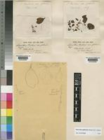 Oncocalyx glabratus (Engl.) M.G.Gilbert [family LORANTHACEAE]