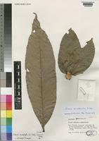 Isotype of Chouxia macrophylla G.E.Schatz, Gereau & Lowry [family SAPINDACEAE]