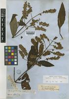 Isotype of Hyptis vesiculosa Benth. [family LAMIACEAE]