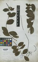 Forsteronia leptocarpa (Hook. and Arn.) A.DC. [family APOCYNACEAE]