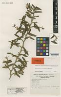 Isotype of Epidendrum pollardii Hágsater [family ORCHIDACEAE]