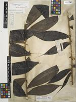 Holotype of Bactris actinoneura Drude & Trail ex Drude [family ARECACEAE]
