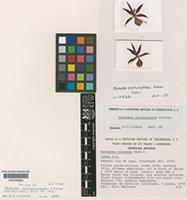 Isotype of Mormodes porphyrophlebia Salazar [family ORCHIDACEAE]