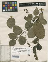 Isotype of Blackwellia austrocaledonica Vieill [family FLACOURTIACEAE]
