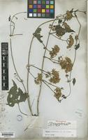 Isolectotype of Mikania scandens (L.) Willd. var. rhodotricha Baker in Mart. [family COMPOSITAE]