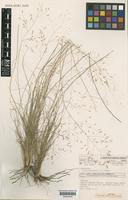 Isotype of Eragrostis longipedicellata B.K.Simon [family POACEAE]