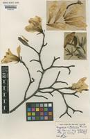 Type of Magnolia kewensis Pearce [family MAGNOLIACEAE]