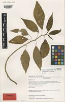 Isotype of Impatiens messmerae Eb.Fisch. & Raheliv. [family BALSAMINACEAE]
