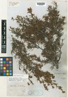 Lectotype of Grevillea australis R.Br. var. linearifolia Hook.f. [family PROTEACEAE]