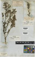 Holotype of Acacia wickhamii Benth. [family LEGUMINOSAE-MIMOSOIDEAE]